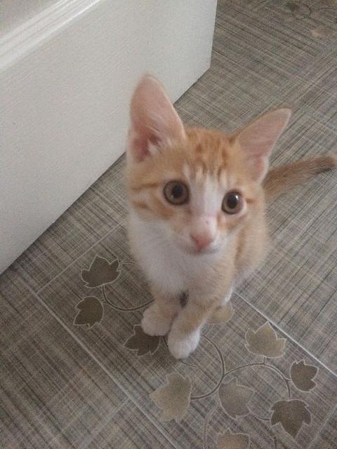 Симпатичный рыжий котенок, ждет друга для игр. К лотку приучен, аккуратный!
