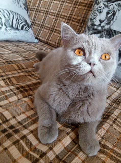 В связи с отьездом отдам в добрые надежные руки британскую кошку. Возраст три года. Вопросы в Ватсапе или по телефону.