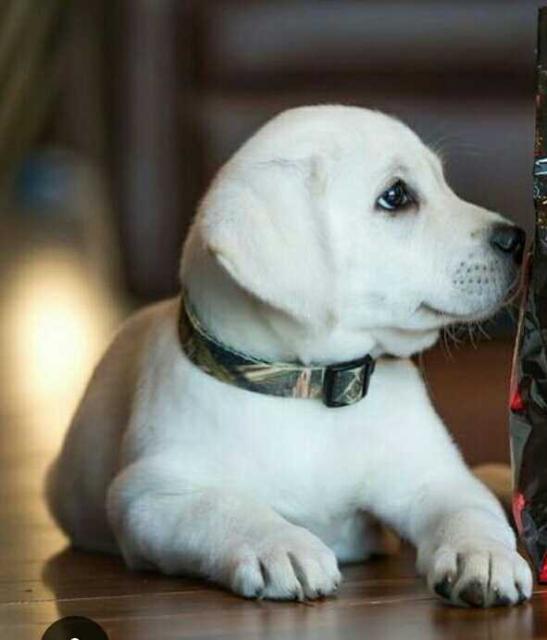 куплю щенка лабрадора мальчика палевого окраса в пределах 5 тыс. руб пишите