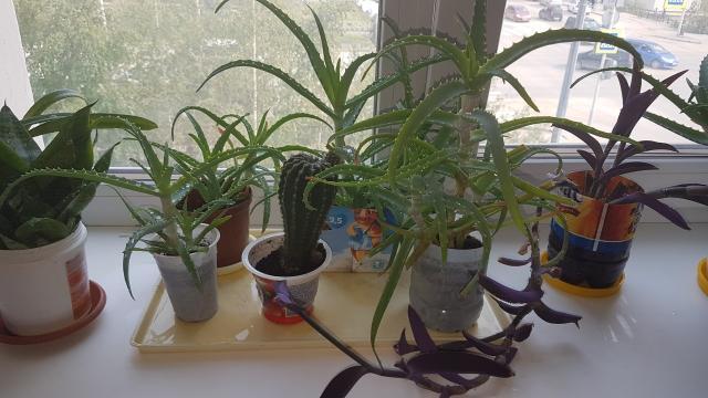 Продаю домашние цветы, алоэ, кактусы, сансевьера, рио и другие. Цены разные