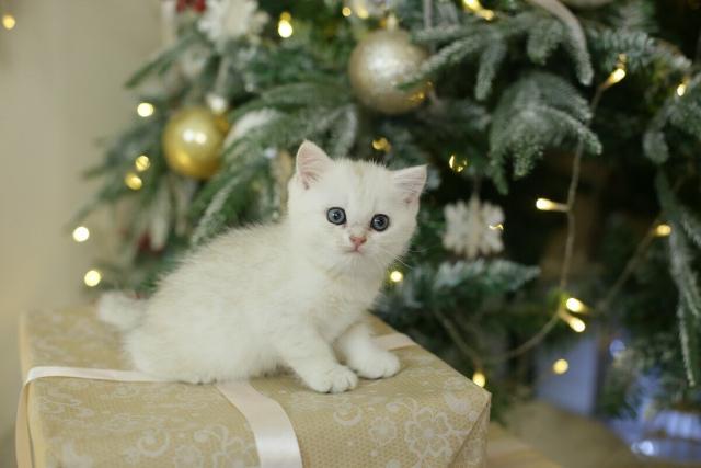 Продаются котята 1,5мес, британской породы, редкого окраса Тонированная серебристая Шиншилла, девочка забронирована, остались 2 мальчика, чистокровные, Родители титулованные... На 1-4 фото котята, 5 Отец, 6 Мама, остальные их же котята раннего помета