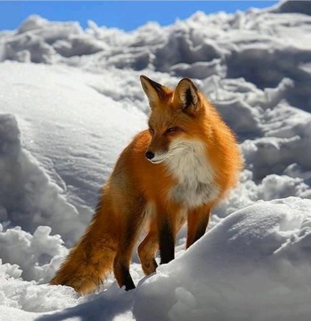 Продам шкуру лисы (красная) невыделанная, или всю тушку целиком.