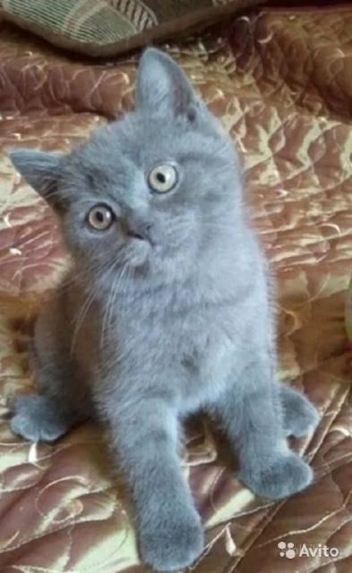Продаю котят скоттиш страйт