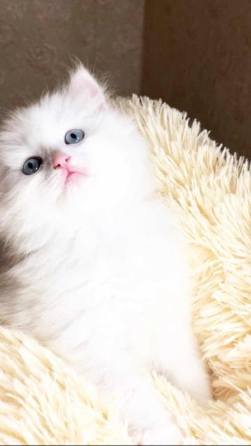Продаются идеально белые и пушистые котята сибиряки с голубыми глазами, к туалету приучены, к ванне приучены, возраст 1 мес.