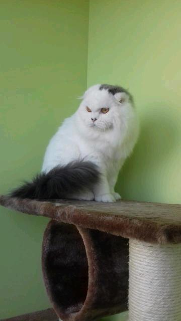 Шотландский кот хайленд фолд  Окрас голубой ван SFL a 01 Дата рождения 31.12.17 Цена с прививками по возрасту и родословной