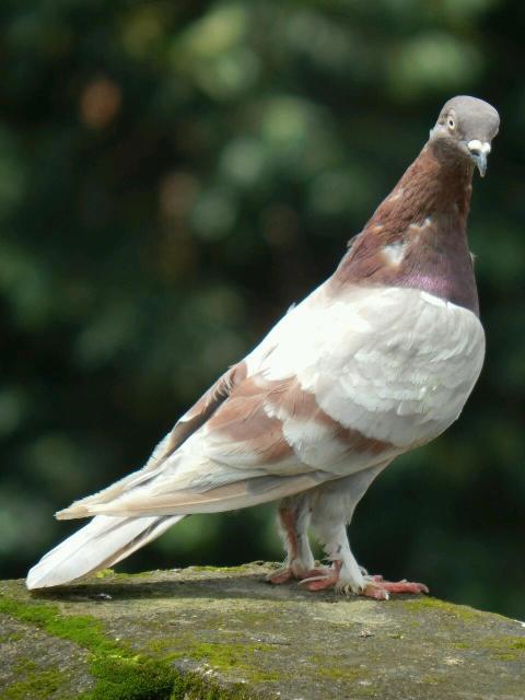 Продаётся домашние красивые голуби
