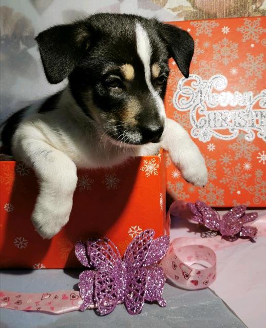 Если в вашей семье не хвает настоящего друга, то сделайте Новогодний подарок детям и себе. Вас ждёт новогоднее чудо -  маленькая красавица!