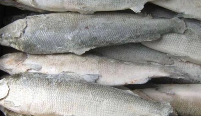 Продаю свежезамороженную рыбу Чир 450/кг Муксун 350/кг Ряпушка 200/кг Бесплатная доставка Продажа от мешка