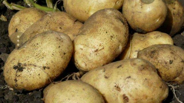 Картофель  домашний. Марха. Жёлтый, вырощен без химикатов. Сорт Гала. Сетка 30-31 кг Доставка до подъезда.