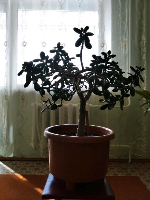 Денежное дерево (Толстянка).
