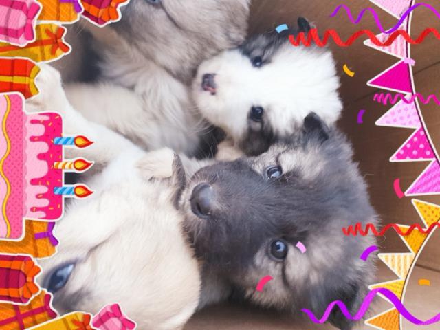 Отдам только в добрые руки замечательных щенков от эвенкийской лайки( мама из помёта охотничьих лаек чемпионов). Отличный подарок для ребёнка, будет верным любящим другом)))родились 8 марта, на фото им ровно месяц)))