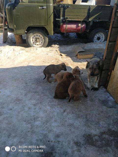 Отдадим щенков в добрые руки Мама помесь лайка с волком  Щенки от какого то байцового пса