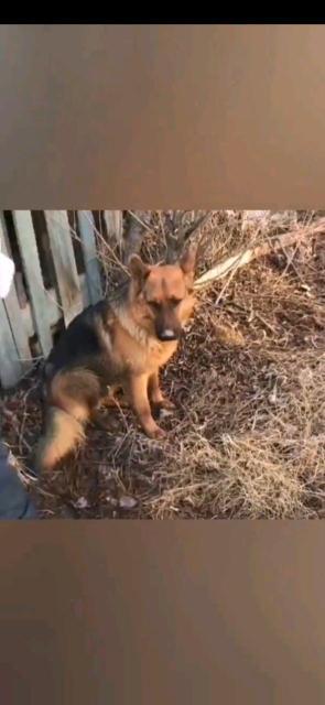 Отдаю очень очень срочно собаку Немецкую овчарку кобель года 3. Без финансовых проблем без детей и без других животных. Людям которые дадут ему настоящию семью .С кураторством