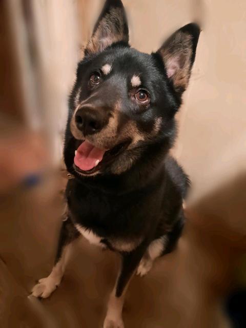 Отдам в добрые руки собаку 🐶 Помесь лайки, примерно 1.5 года, мальчик Для людей с частным домом🏡, подойдет для охраны (писать ватсап)