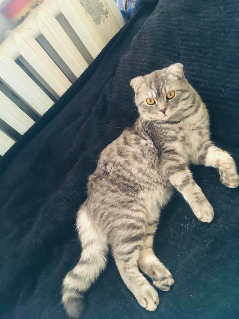 Шотланский Кот скоттиш-фолт ищет на вязку кошку 😻