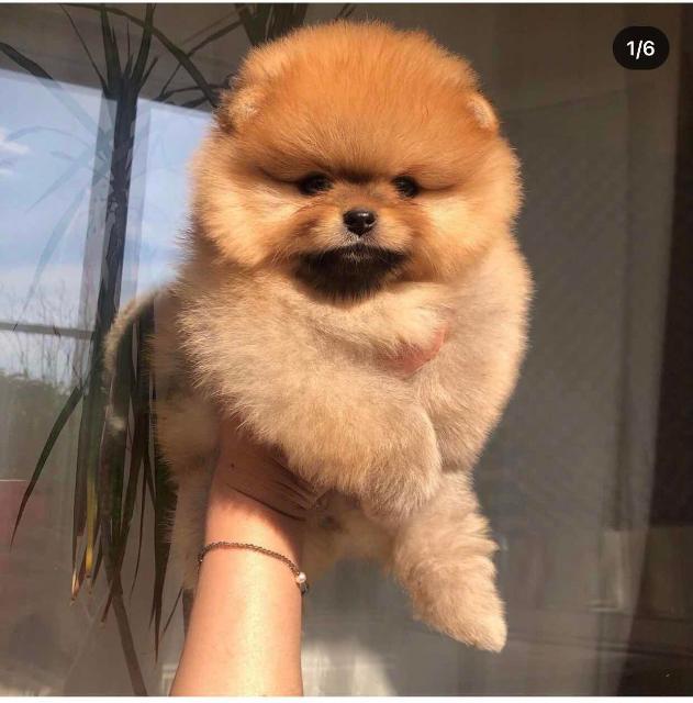 Срочно недорого куплю щенка померанского щпица.