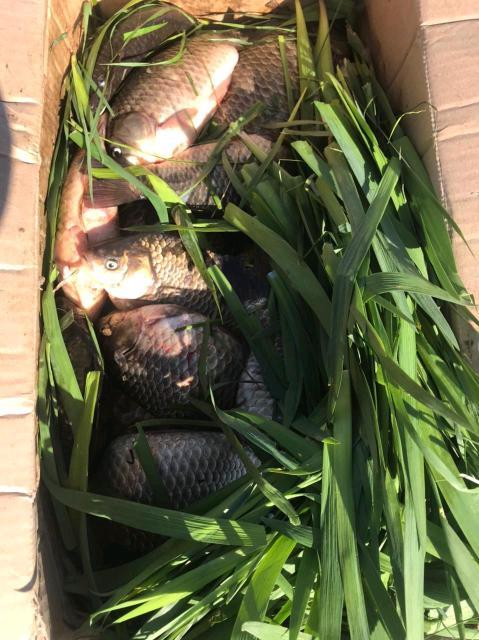 Свежая рыба доставка есть от 5 кг Так же беру заказы на очищенные (от чешуи и желчи)