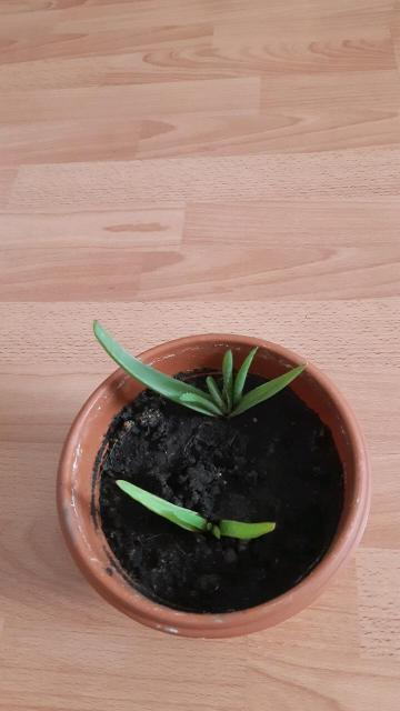 Продаю многолетнее комнатное лечебное растение алоэ, листья мясистые, кожистые окраска зеленая с серым оттенком, является суккулентом,цветущее, цветки на длинных цветоносах, соцветия кистевидные, требует яркого освещения, полив умеренный, неприхотливое, в цветочном горшочке 2  шт алоэ